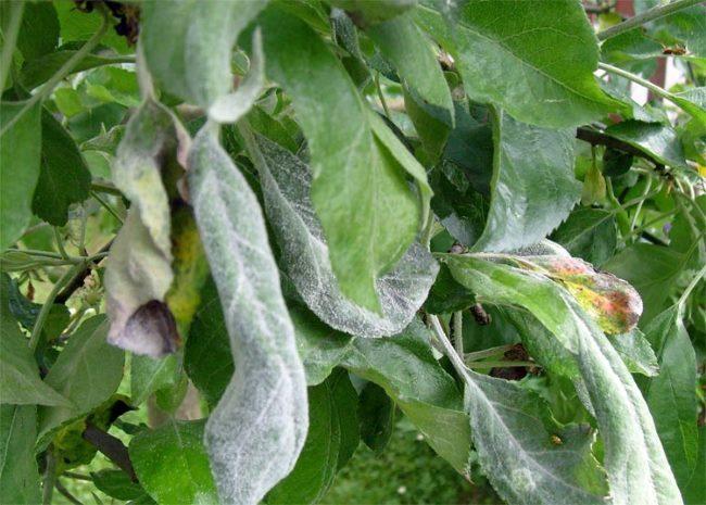 Белесый налет на зеленых листьях яблони от мучнистой росы