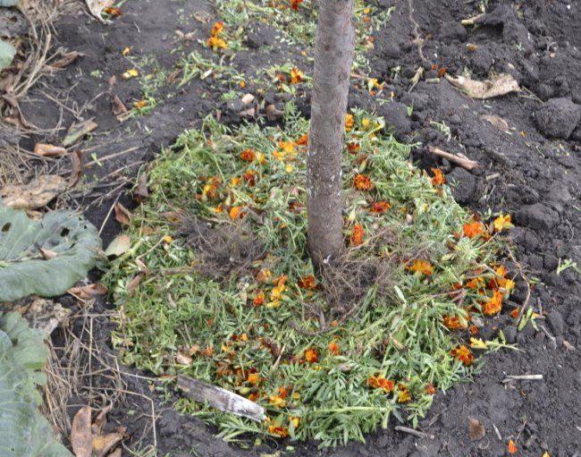 Оранжевые цветки и зеленые стебли бархатцев в приствольном круге яблони
