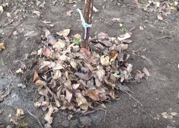 Мульчирование саженца яблони опавшей листвой сразу после посадки