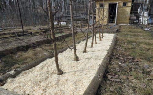 Мульчирование колоновидных яблонь весной древесными опилками