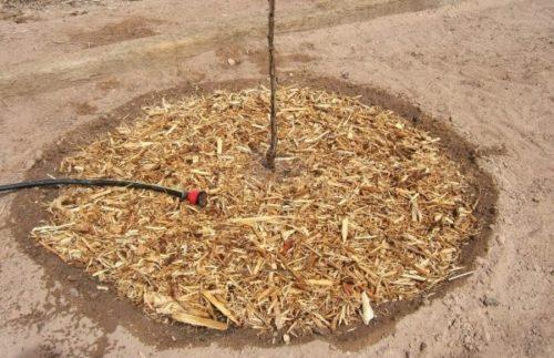 Весенний полив саженца яблони в приствольный круг с щепой
