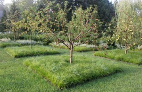 Выращивание растений-сидератов в приствольном круге взрослых яблонь