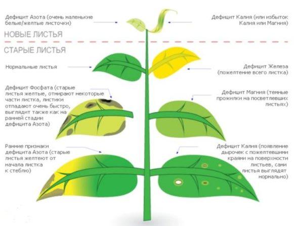Схема диагностики пожелтения листьев яблони при нехватке питательных элементов