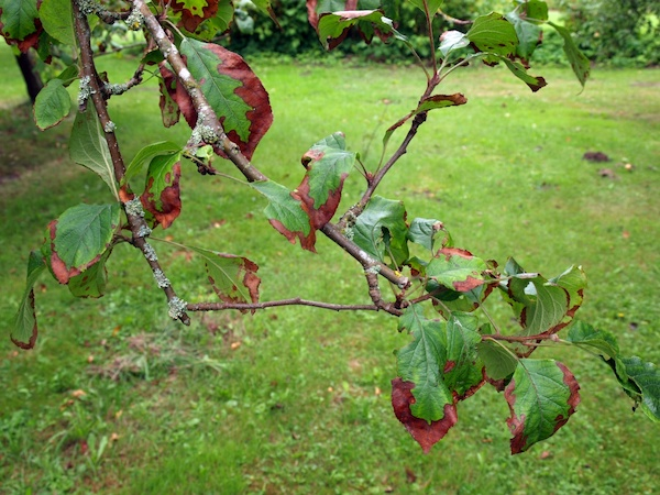 Ветка яблони с потемневшими листьями при дефиците калия