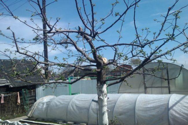 Распускающиеся почки на обрезанной весной старой яблоне