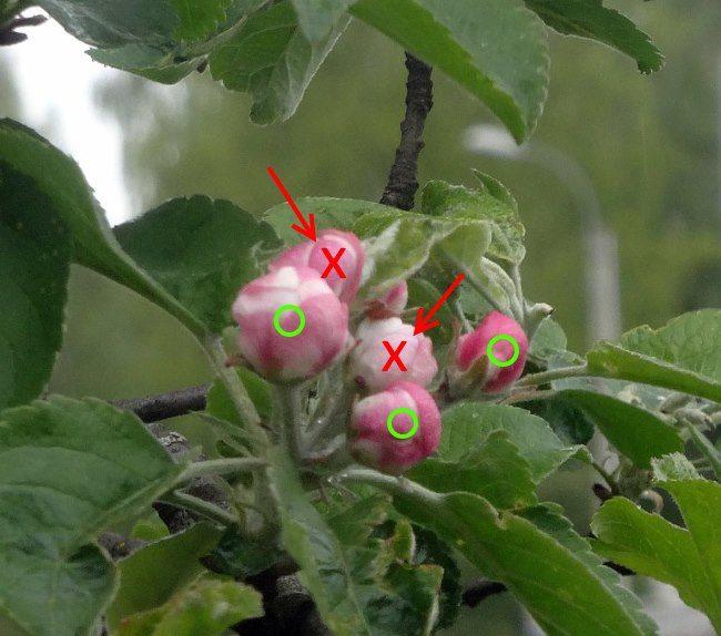 Схема обрывания лишних бутонов яблони при первом цветении деревца