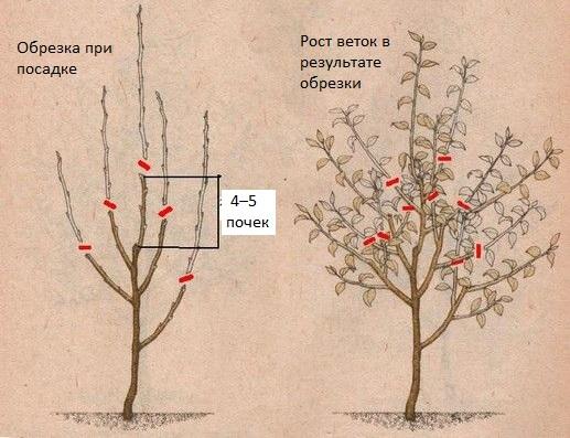 Схема обрезки двухлетнего саженца яблони и рост веток в течении сезона