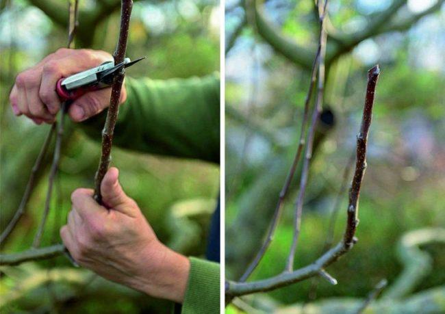 Фото ветки яблони до и после проведения обрезки на внешнюю почку
