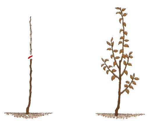 Схема обрезки кроны молодой яблони в первый год после посадки