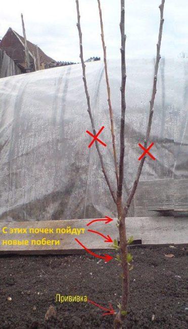 Схема обрезки молодой яблони с замерзшими ветками после холодной зимы