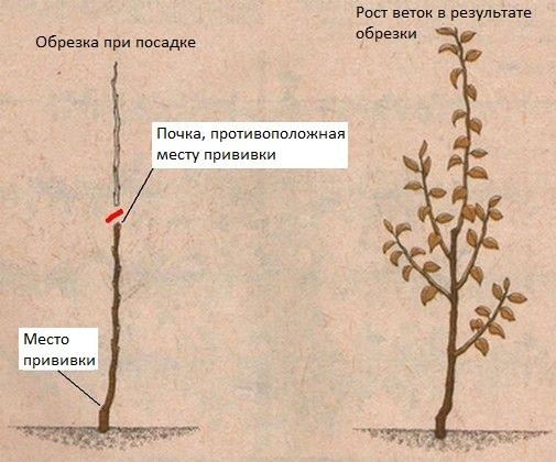 Схема обрезки яблоневого саженца при посадке и результат роста веток в течении лета