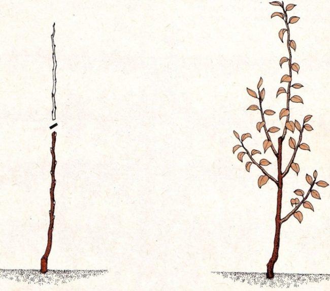 Схема обрезки двухлетнего саженца яблони после весенней посадки