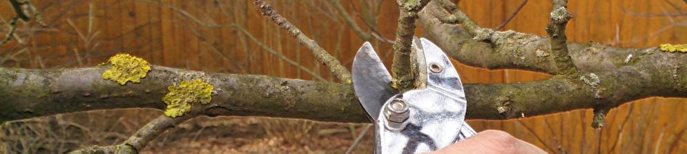 Обрезка секатором ветви яблони