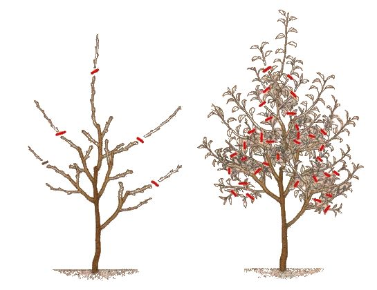 Схема обрезки веток яблони на третий год при посадке однолетним саженцем