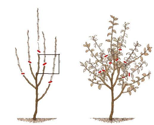 Схема формирования кроны яблони на второй–третий года после посадки