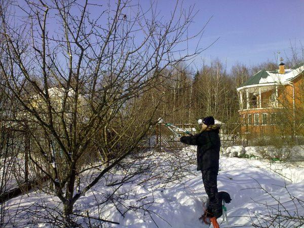 Формирующая обрезка плодоносящей яблони в конце зимнего периода