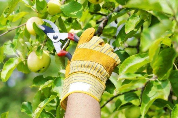 Пожелтевшие листья яблони летом обрезают секатором