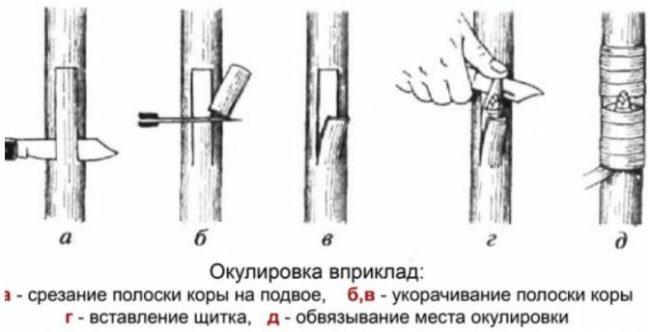 Схемы выполнения летней прививки почки яблони вприклад
