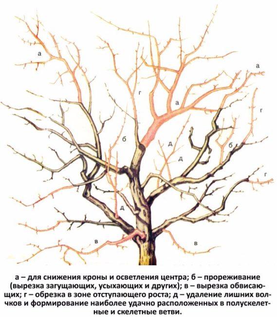 Схема проведения омолаживающей обрезки старого дерева яблони