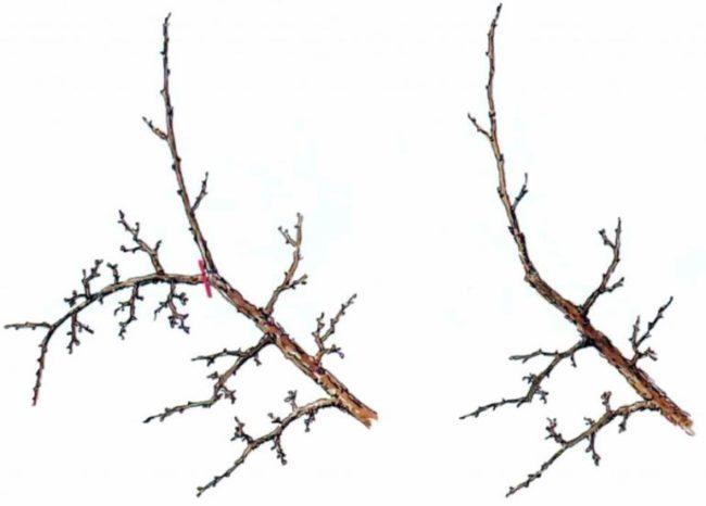 Схема весенней омолаживающей обрезки плодоносящей яблони