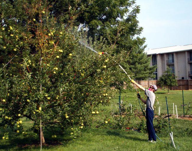 Летняя обработка кроны высокой яблони химическими препаратами