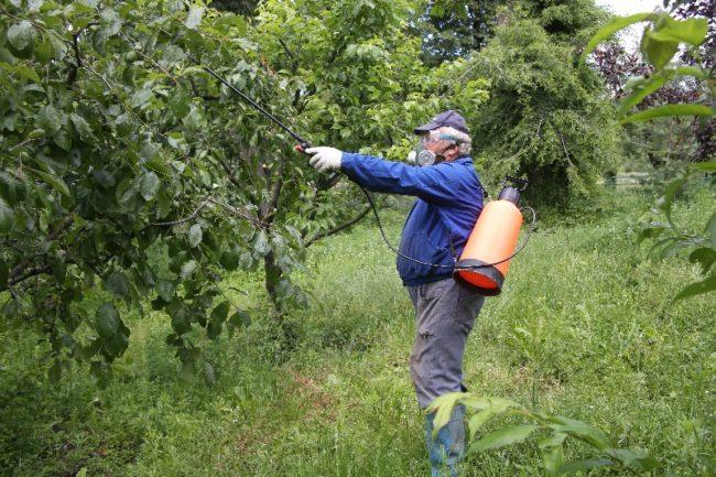 Летняя обработка кроны яблони от парши и других грибковых заболеваний