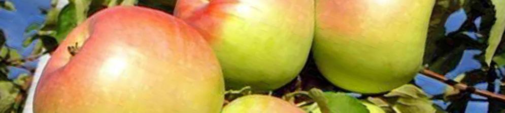 Спелые плоды сорта яблони Орловский синап на дереве