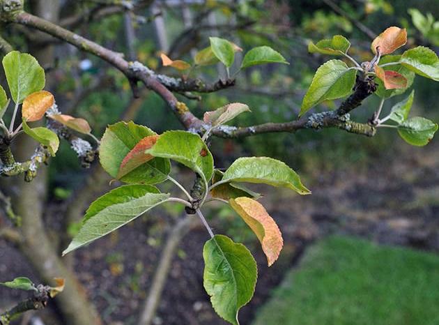 Признаки появления паутинного клеща на листьях яблони в июне