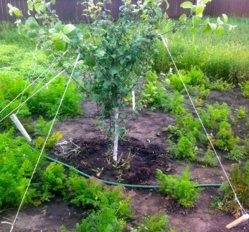 Исправление неправильного роста веток яблони с помощью веревки и кольев