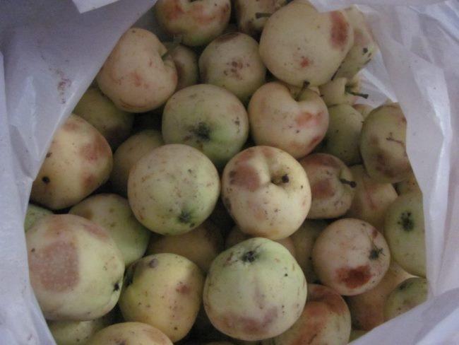 Мешок с падалицей яблок сорта Белый налив для переработки на варенье