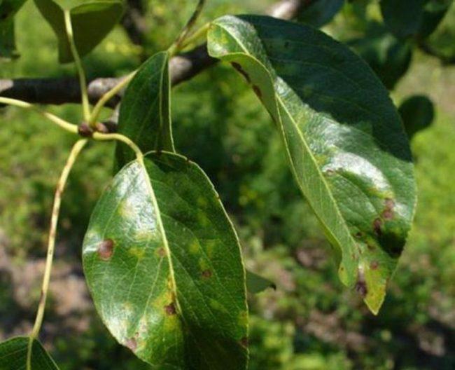 Молодые листочки яблони с пятнами при поражении паршой обыкновенной