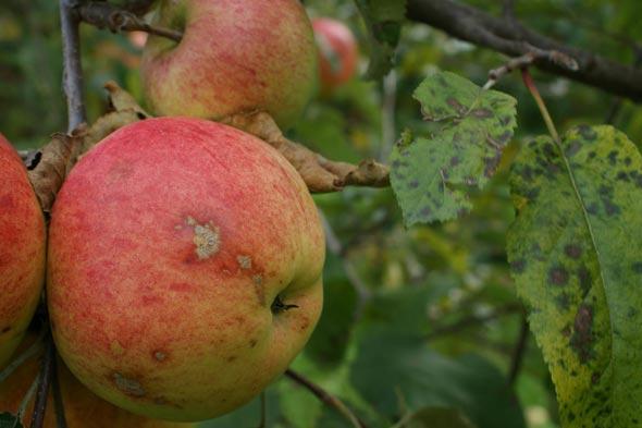 Плоды и листья яблони с признаками заражения растения паршой обыкновенной
