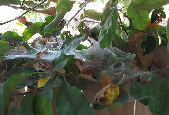 Колония паутинного клеща на листьях яблони в период плодоношения
