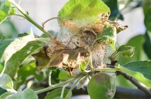 Признаки появления паутинного клеща на молодых побегах яблони