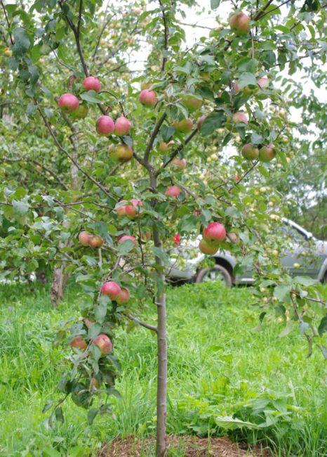 Первое плодоношение трехлетней яблони современной селекции