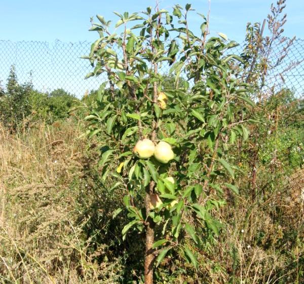 Первые плоды на молодой яблоньке сорта Орловский Синап в четырехлетнем возрасте