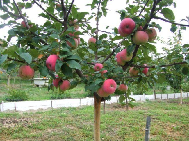 Первый урожай яблок на карликовом деревце в частном саду
