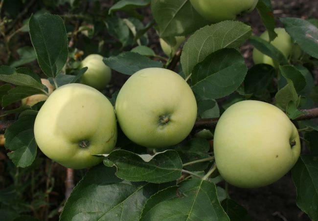 Три яблока раннего сорта Белый налив в стадии съемной спелости