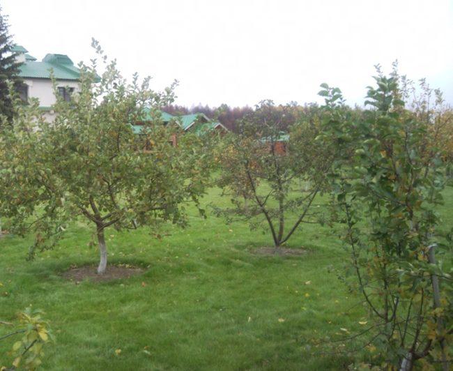 Молодой фруктовый сад с яблонями на территории загородного участка