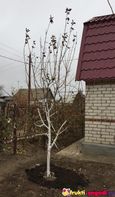 Ствол яблони в побелке перед зимним периодом