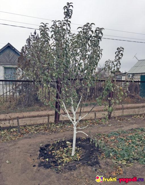 Яблоко побеленное в зиму молодое