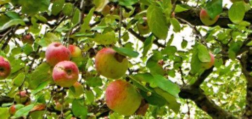 Яблоневый сад в Поволжье и плоды на деревьях