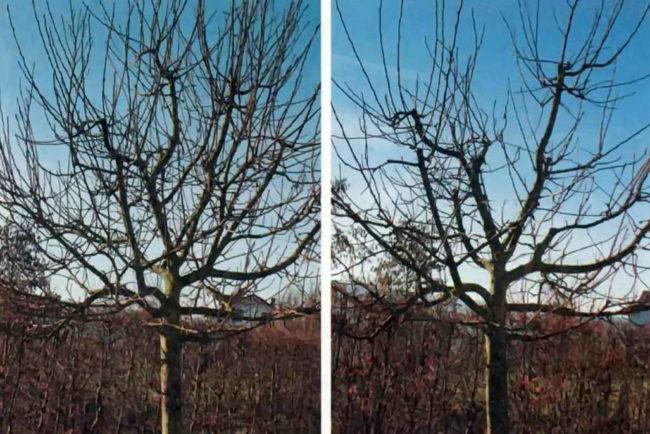 Фото проведения поддерживающей обрезки плодоносящей яблони