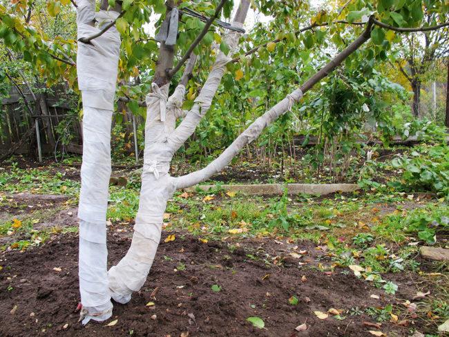 Яблоня подготовленная к зиме с обмотанным стволом