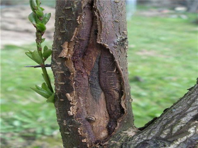 Дерево с повреждениями коры и ствола после морозов
