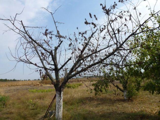 Погибшее дерево взрослой яблони при поражении грибковой инфекцией