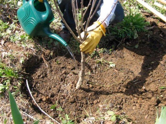 Весенний полив яблони из лейки по взрыхленному приствольному кругу