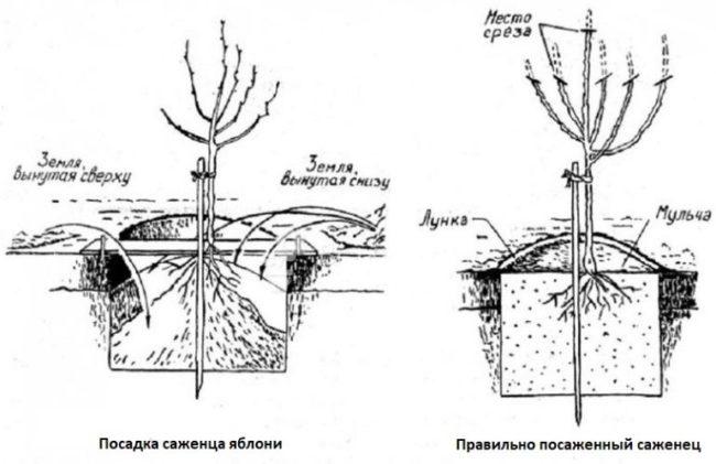 Устройство посадочной ямы и правильное расположение яблоневого саженца