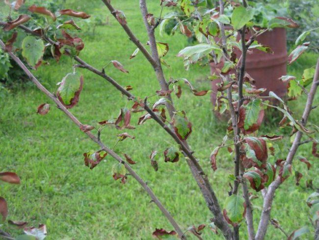 Ветки яблони с недоразвитыми листьями на почве с высокими грунтовыми водами