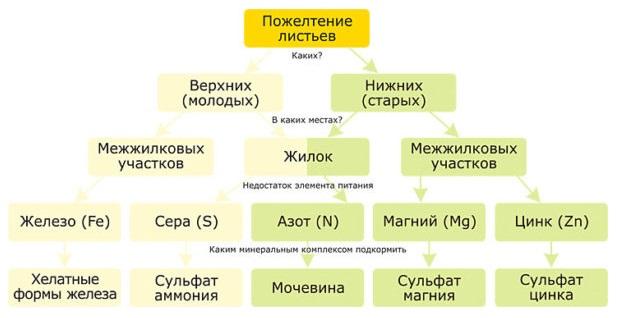 Схема для определение причины пожелтения и увядания листьев яблони